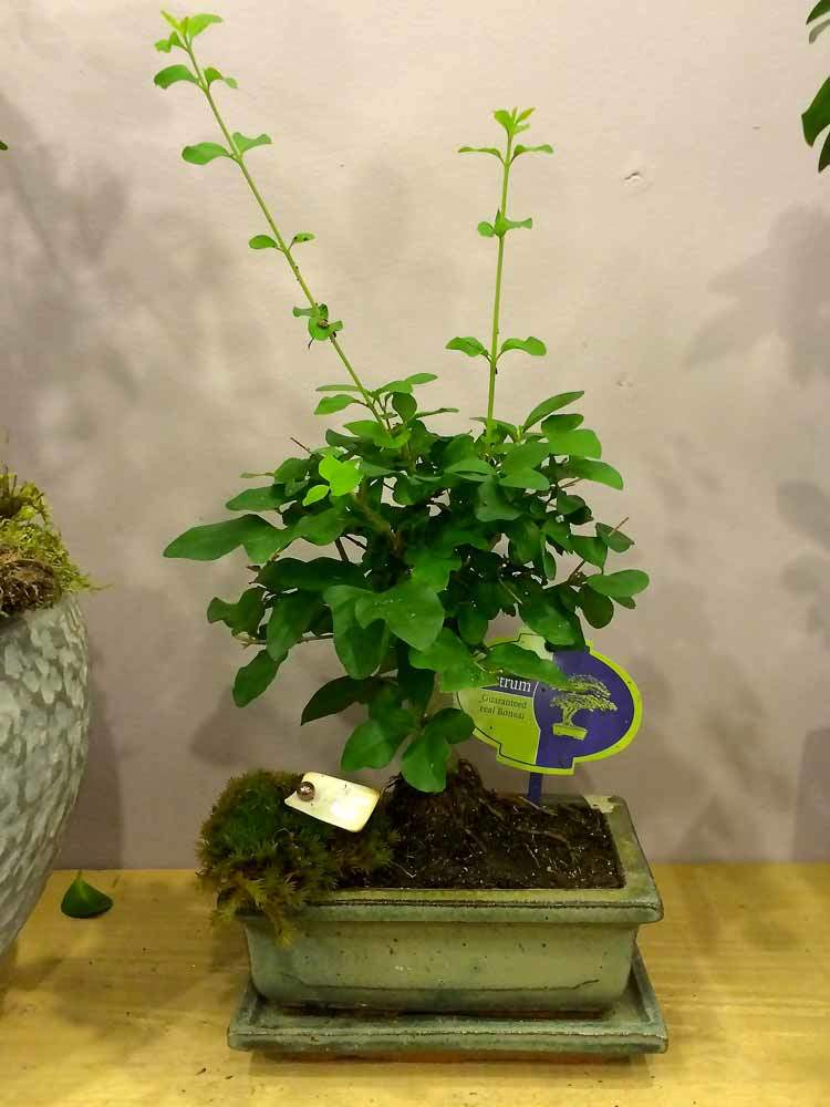 bonsaï fleurs marseille