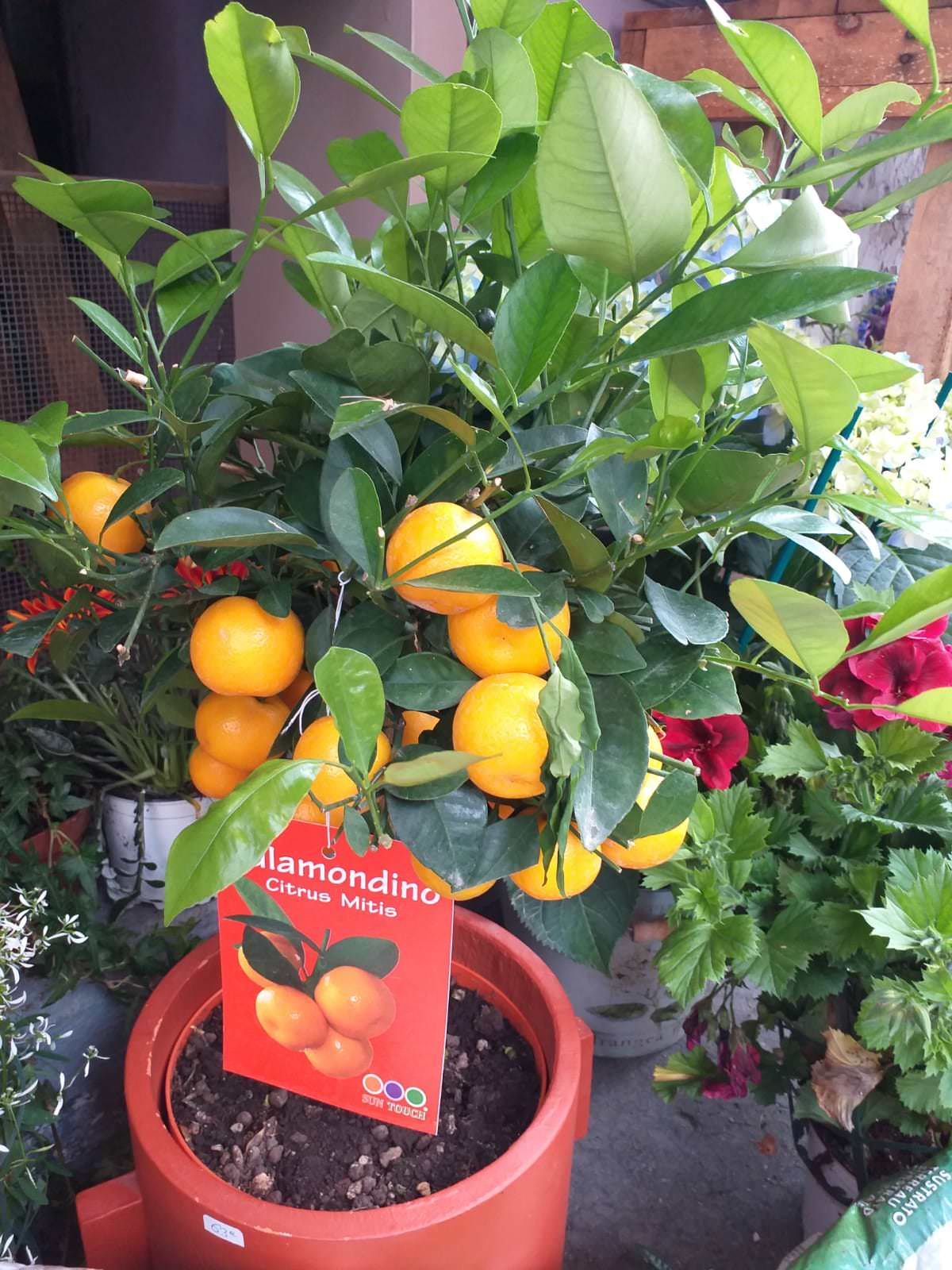 fleuriste marseille fleurs et plantes calamondin